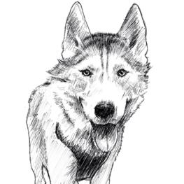 husky-la-laisse
